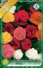 Begonia_Multiflo_54abd2240c37c