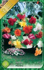 Begonia_Pendula__54abd15ba2b8e