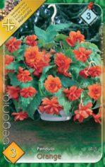 Begonia_Pendula__54abd16f359f0