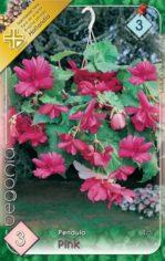 Begonia_Pendula__54abd184425ee