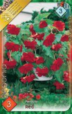 Begonia_Pendula__54abd195ad705