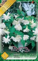 Begonia_Pendula__54abd1a75bde1