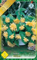 Begonia_Pendula__54abd1b8950a9