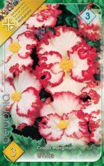 Begonia_crispa_m_54abd1dbda693
