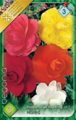 Begonia_double_l_54abd0d173200