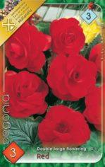 Begonia_double_l_54abd0f49c05c