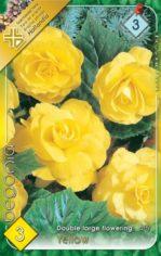 Begonia_double_l_54abd1134361c