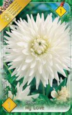 Dahlia_Cactus_My_5487fa167059a