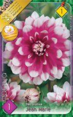 Dahlia_Decorativ_5486ec4b9d565