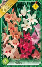 Gladiolus_nanus__54882e39924e7
