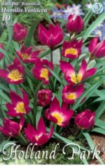 Violacea___Tulip_4aab7ae2b7972