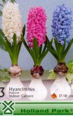 Hyacinthus__prep_4e5dfa5fb7065