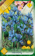 Iris_reticulata__542127b9506f1