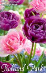 Tulipa_Duo_Doubl_4e4e4322976d7