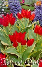 Tulipa_praestans_4e4a78c4b3368