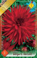 Dahlia_Cactus_Be_5486e66dd1135