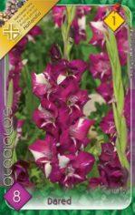 Gladiolus_Dared__54881b34815ab