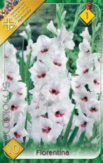 Gladiolus_Fioren_54881b508f7dd