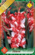 Gladiolus_Zizani_54abcebac18d5