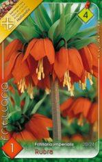 Fritillaria_impe_54212878ab735