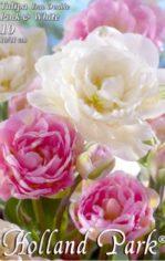 Tulipa_Duo_Doubl_4e4e43896fdb9